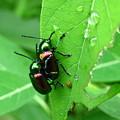 Dogbane Beetles by Joshua Bales
