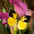 Dogface Butterfly On Pink Calla Lily  by Garry Gay