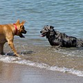 Dogs In Lake Michigan by Ben Schumin