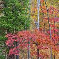 Dogwood And Cedar by Tim Fitzharris