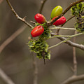 Dogwood Berries by Tim Atchley