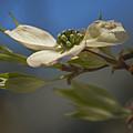 Dogwood Bloom by Elsa Marie Santoro