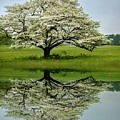 Dogwood Bloom by Rima Biswas