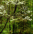 Dogwood Blooming By River by Thomas R Fletcher