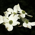 Dogwood Blooms by Barnia Scruggs