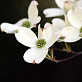 Dogwood Blooms by George Jones