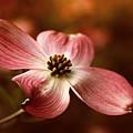 Dogwood Blossom by Jessica Jenney