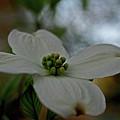 Dogwood Blossom by Karen Harrison