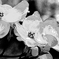 Dogwood Blossoms - Black And White by Mother Nature