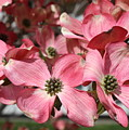 Dogwood Blossoms by Carol Groenen