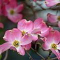 Dogwood Blossoms by Eleanor Bortnick