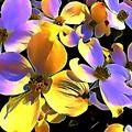 Dogwood Blossoms by Glenn Wilson Boerstler II