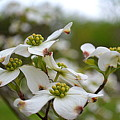 Dogwood Blossoms by Karin Everhart