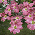 Dogwood Blossoms by Richard Verkuyl