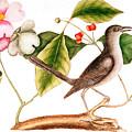Dogwood  Cornus Florida, And Mocking Bird  by Mark Catesby