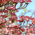 Dogwood Flowering Trees Pink Dogwood Flowers Baslee Troutman by Baslee Troutman