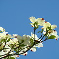 Dogwood Flowers Art Prints White Flowering Dogwood Tree Baslee Troutman by Baslee Troutman