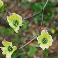Dogwood Flowers by Julie VanDore