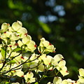 Dogwood Flowers White Dogwood Tree Flowers Art Prints Cards Baslee Troutman by Baslee Troutman