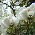 Dogwood Flowers White Dogwood Trees Blossoming 8 Art Prints Baslee Troutman by Baslee Troutman