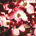 Dogwood Harmony by Nancy Mueller