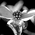 Dogwood In Black And White by Holly Ross