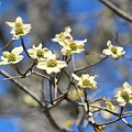 Dogwood In Bloom by Cynthia Guinn
