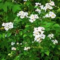 Dogwood In Bloom by Soni Macy