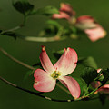 Dogwood In Pink by Douglas Stucky