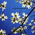 Dogwood In The Sky #2 by Kevin Gladwell