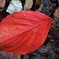 Dogwood Leaf by Teresa Mucha