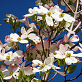Dogwood Sky by Jim And Emily Bush