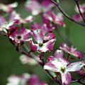 Dogwood Tree by Jim And Emily Bush