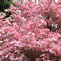 Dogwood Tree Flowers Art Prints Canvas Pink Dogwood by Baslee Troutman