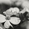 Dogwoods In Black And White by Lois Bryan