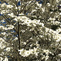 Dogwoods In Bloom by Chad Kroll