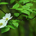 Dogwoods In Harpers Ferry National Historical Park by Raymond Salani III