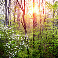 Dogwoods In The Forest by Debra and Dave Vanderlaan
