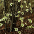 Dogwoods In The Spring by Mike Eingle