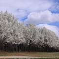 Bradford Pear Trees On Display by Karen Ruhl