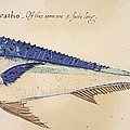 Dolphin, 1585 by Granger