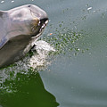 Dolphin At Play by Don McBride