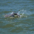 Dolphin Race by Terrie Stickle