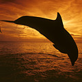 Dolphins And Sunset by Dave Fleetham - Printscapes