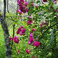 Domestic Rose Gone Wild by Thomas R Fletcher