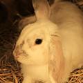 Domesticated Rabbit by Robert Hamm