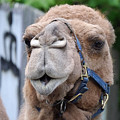 Dominica Camel by Richard Reeve