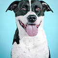 Domino 1 by Pit Bull Headshots by Headshots Melrose