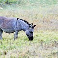 Donkey 005 by Jeff Downs