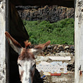 Donkey At The Window by Gaspar Avila